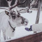 Rovaniemi, a rénszarvasok városa